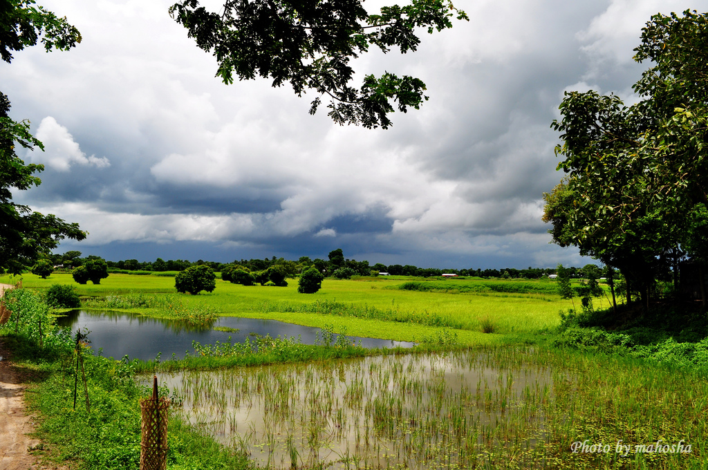 Paddy field & mustard fields